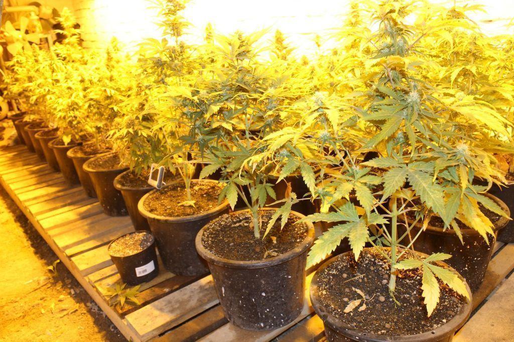 Конопли культивация выращивание давление с марихуаны